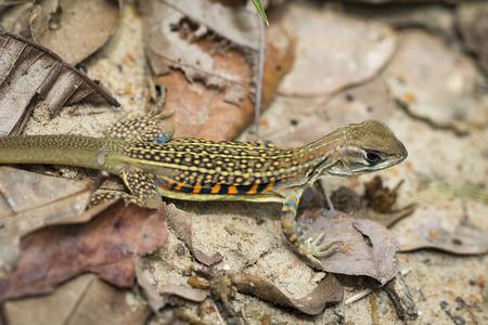 cola mujer: Imagen de la mariposa agama lagarto (Leiolepis Cuvier) en hojas secas. Reptil Animal. Foto de archivo