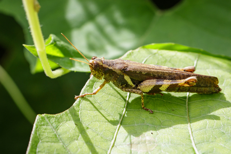 hopper: Image of Rufous-legged Grasshopper (Xenocatantops humilis) on green leaves. Insect Animal
