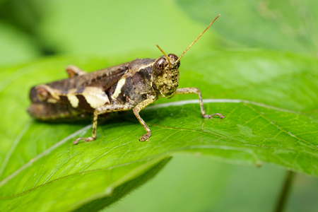 Image of Rufous-legged Grasshopper (Xenocatantops humilis) on green leaves. Insect Animal