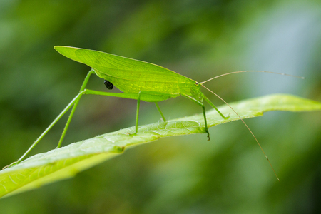 telephone cartoon: Image of a green grasshoppers on green leaves. Insect Animal (Dark Tympanal Katydid., Holochlora nigrotympana)