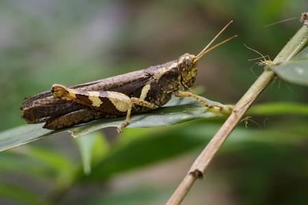 telephone cartoon: Image of Rufous-legged Grasshopper (Xenocatantops humilis) on green leaves. Insect Animal