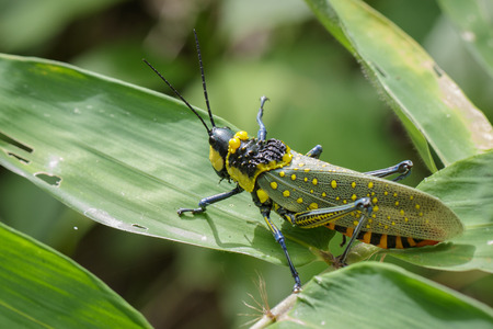 Image of spotted grasshopper (Aularches miliaris) on green leaves. Insect Animal