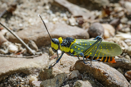 Image of spotted grasshopper (Aularches miliaris) on the rocks. Insect Animal