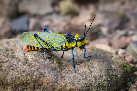 versicolor: Image of spotted grasshopper (Aularches miliaris) on the rocks. Insect Animal