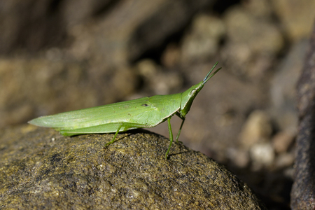 Image of Slant-faced or Gaudy grasshopper on the rocks. Insect Animal
