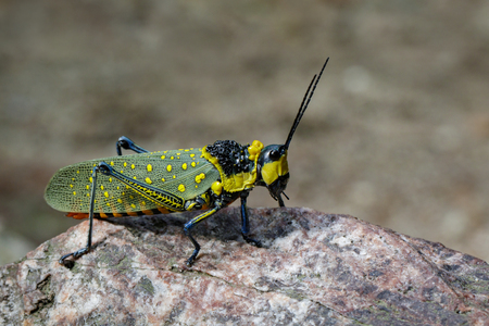langosta: Image of spotted grasshopper (Aularches miliaris) on the rocks. Insect Animal