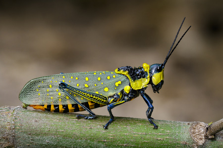 versicolor: Image of Spotted grasshopper (Aularches miliaris) on branch on natural background. Insect Animal