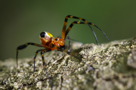 net: Image of an opadometa fastigata spiders(Pear-Shaped Leucauge) on the timber. Insect Animal. Stock Photo