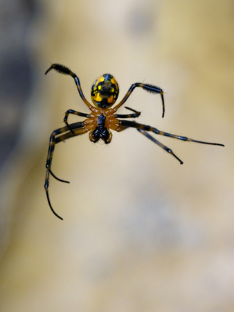 Image of an opadometa fastigata spiders(Pear-Shaped Leucauge) on the spider web. Insect Animal