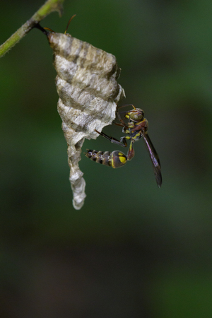 Bộ sưu tập côn trùng 2 - Page 15 81867949-image-of-a-small-brown-paper-wasp-ropalidia-revolutionalis-and-wasp-nest-on-nature-background-insect