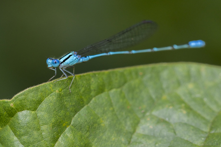 sprig: Image of Common Bluet Enallagma cyathigerum or Common Blue Damselfly on a green leaf. Insect Animal