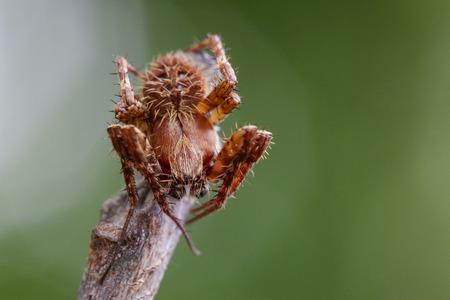 Image of Eriophora sp cf Novakiella or Orb-weaving Spider or Orb Weaver (Novakiella trituberculosa) on dry branches. Insect Animal Stock Photo