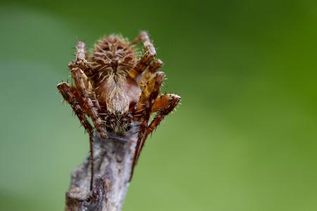 araneidae: Image of Eriophora sp cf Novakiella or Orb-weaving Spider or Orb Weaver (Novakiella trituberculosa) on dry branches. Insect Animal Stock Photo