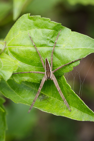 Image of Four-spotted Nursery Web Spider (Dolomedes triton) on a green leaf. Insect Animal Stock Photo