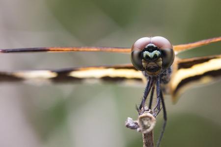 Image of Variegated Flutterer Dragonfly (Rhyothemis variegata) on nature background. Insect Animal