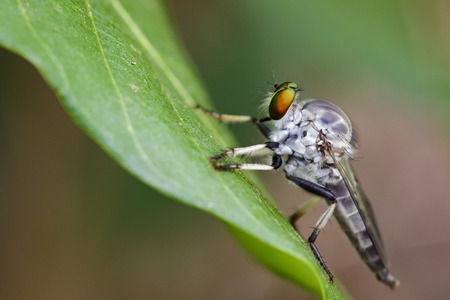 asilidae: Image of an robber fly(Asilidae) on green leaves on the natural background. Insect Animal Stock Photo
