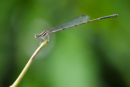 Image of black threadtail dragonfly (Female) (Prodasineura autumnalis) on nature background. Insect Animal