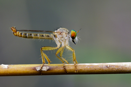 asilidae: Image of an robber fly(Asilidae) on a branch on the natural background. Insect Animal