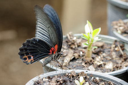 Image of great mormon butterfly(Papilio memnon agenor Linnaeus,1758) on nature background. Insect Animal