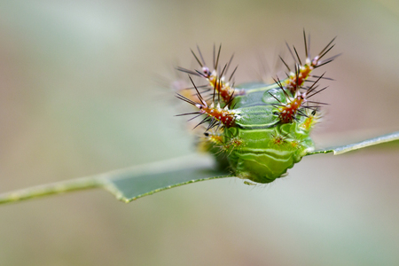 Image of Stinging Nettle Slug Caterpillar (Cup Moth, Limacodidae) Green Marauder on green leaves. Insect Animal. Stock Photo