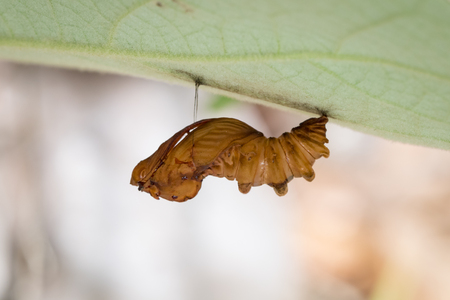 Image of Troides amphyrysus ruficollis-pupa on nature background. Insect Animal