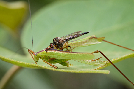 asilidae: Image of an robber fly(Asilidae) eating grasshopper on green leaves. Reptile Animal