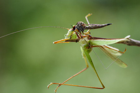asilidae: Image of an robber fly(Asilidae) eating grasshopper on nature background. Insect Animal