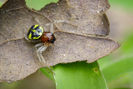 xysticus: Image of halloween crab spider (Camaricus formosus) on brown leaves. Insect Animal