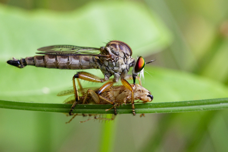Image of an robber fly eating prey on green leaves. Insect Animal