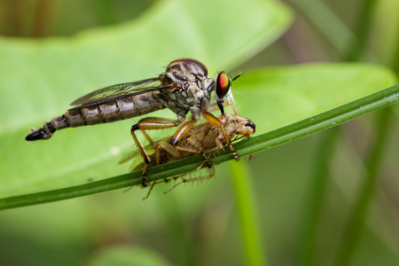 asilidae: Image of an robber fly eating prey on green leaves. Insect Animal
