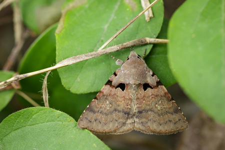 Image of brown butterfly(Moth) on green leaves. Insect Animal