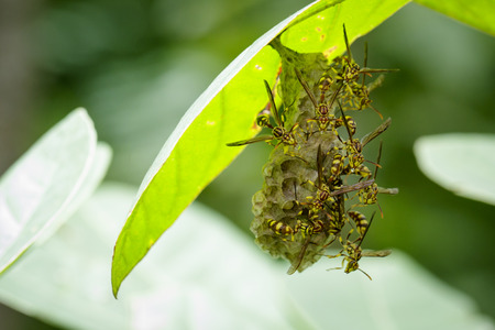 paper wasp: Image of an Apache Wasp (Polistes apachus) and wasp nest on nature background. Insect Animal