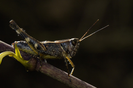 Image of grasshopper brown(Acrididae) on dry branches. Insect Animal