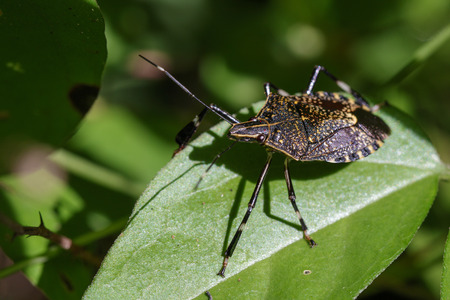 Image of stink bug (Eocanthecona  furcellata) on green leaves. Insect Animal