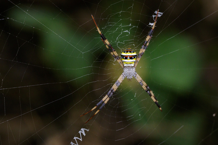 versicolor: Image of multi-coloured argiope spider (Argiope pulchellla. ) in the net. Insect Animal
