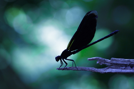 Image of Euphaea Masoni Dragonfly on dry branches on nature background. Insect Animal Stock Photo