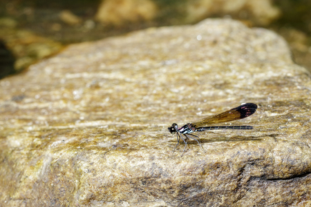 Image of Common Blue Jewel Dragonfly (Helioeypha biforata) on the rock. Insect Animal