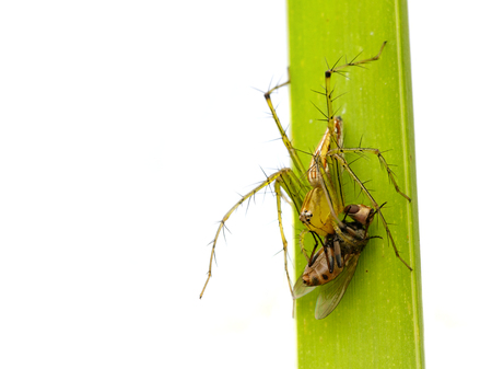 Image of oxyopidae spider going to eat fly on green leaves. Insect Animal (Java Lynx Spider  Oxyopes cf. Javanus) Stock Photo