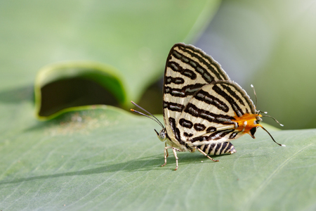 silverline: Image of Club Silverline Butterfly(Cigaritis syama) on a green leaf. Insect Animal