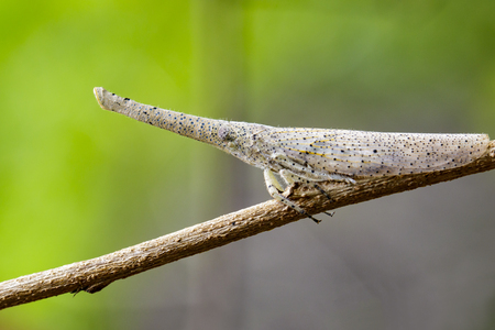 Image of lantern bug or zanna sp on the branches on a natural background.. Insect Animal Stock Photo
