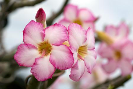 mock azalea: Image of a beautiful pink azalea flowers in the garden. (Adenium)