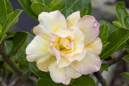 Image of a beautiful azalea flowers in the garden. (Adenium)