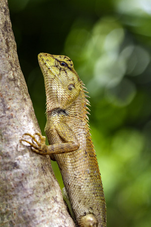 versicolor: Image of chameleon or lizard on nature background. Reptile