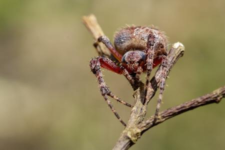 Image of Araneus hamiltoni spider(Hamiltons Orb Weaver) on dry branches. Insect Animal Stock Photo