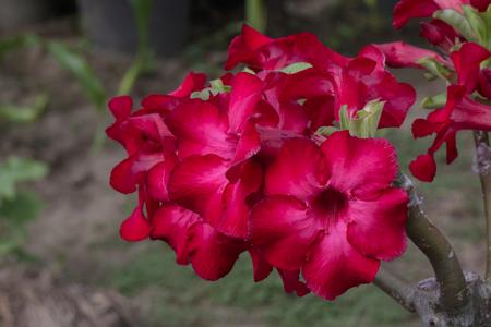 Image of a beautiful red azalea flowers in the garden. (Adenium)