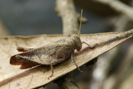 Image of a brown grasshopper (Apalacris varicornis) on dry leaves. Insect Animal