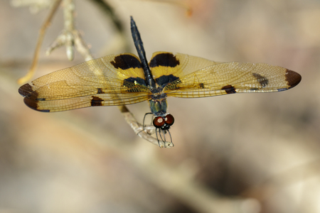Image of a rhyothemis phyllis dragonflies on a tree branch. Insect Animal