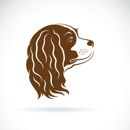 King Charles Spaniel dog on white background