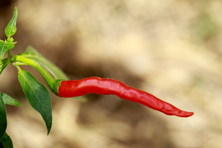 Image of red peppers on nature background. Food