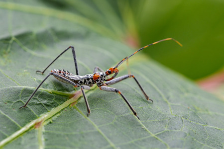 Image of an Assassin bug on green leaves. Insect. Animal
